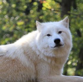 vlk arktický