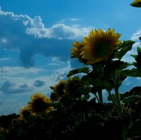 Řada slunečnic