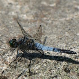 Vážka černořitná na kameni
