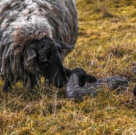 Vánoční ovčí pohoda