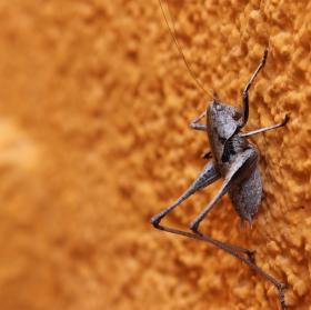 Španělská kobylka