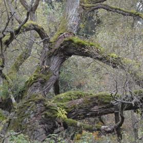 mechový strom
