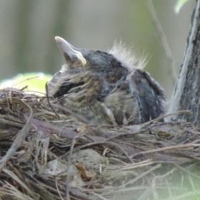 mladý kos v hnízdě