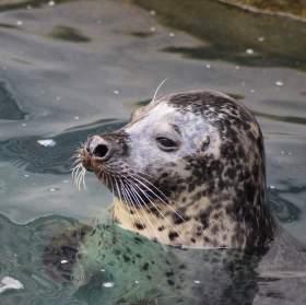 Tuleň vykoukl z vody v Jihlavě