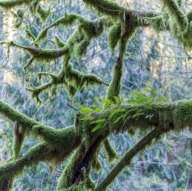 Oregonský mech (Kindbergia oregana)