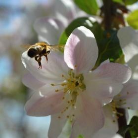 včela + květ = výroba medu