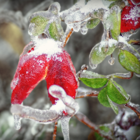 Zmrzla květina