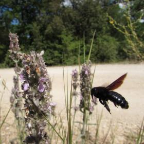Drvodělka fialová - samotářská včela