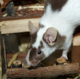 Myšák laboratorní
