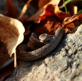 Malá zmije