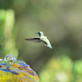 Kolibřík u napajedla