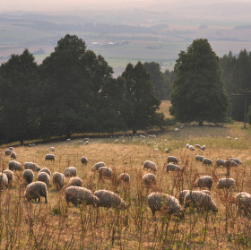 Ovečky na kopci