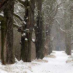 Smutná zimní kaštanová alej...
