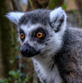 zoo lemur