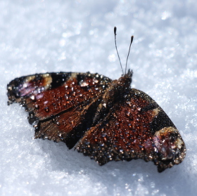 Zimní motýl