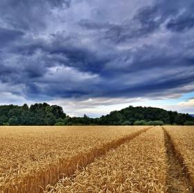 Zlaté pole před bouřkou