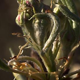 Pokud květy přežijí letošní jaro,budou hrušky máslovky