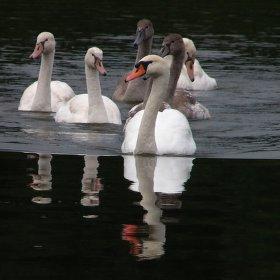 Labutě na rybníku v Polance nad Odrou