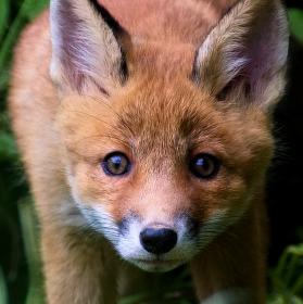Foxík