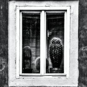 Vousáči v okně