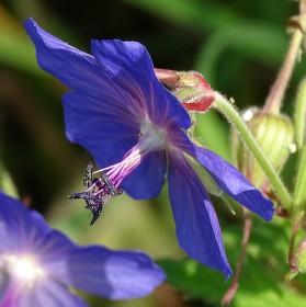 Luční květ Cranesbill