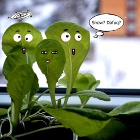 Pěstování salátu na jaře ... když byl ještě sníh