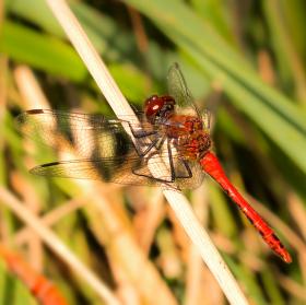 Vážka rudá