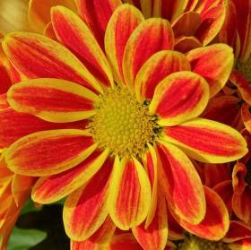 Květ Chryzantémy (Chrysanthemum) neboli listopadky