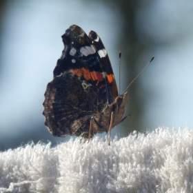 retro motýl