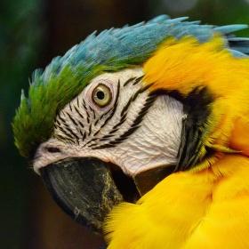 Drbání papouška