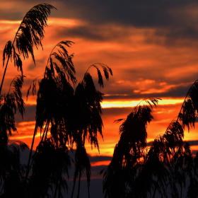 Rákosí v západu slunce