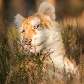 Tygří slečna Zoja