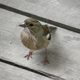 Vrabčák stavitel