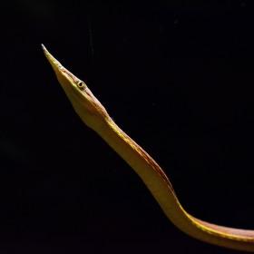 Langaha madagaskarská - samec