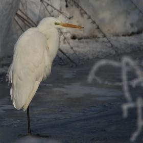 Volavka bílá (Ardea alba) II