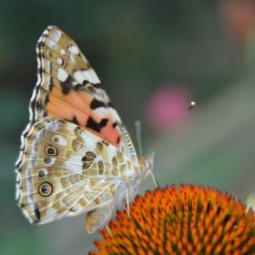 Motýl v zahradě.