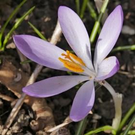 Květ jara
