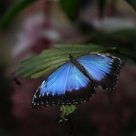 Motýlí návrat