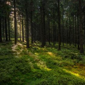 Lesní koberec
