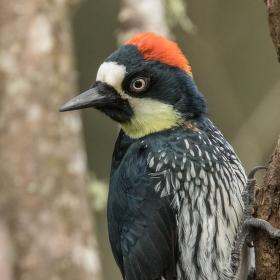Datel sběrač (Melanerpes formicivorus) Acorn Woodpecker