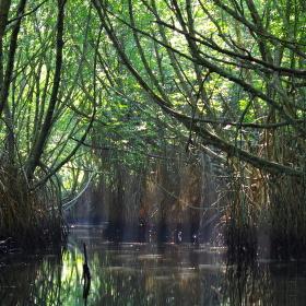 V mangrovové bažině