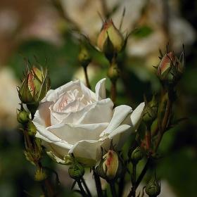 Léto s růží