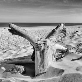 Starý kořen na pláži