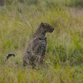 Leopard na lovu