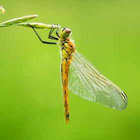 Vážka rumělková - Sympetrum depressiuscuum