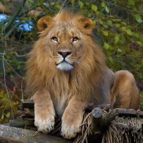 Lev konžský - Zoo Lešná