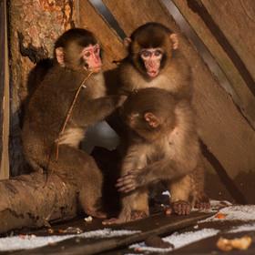 Mláďata opice Makak