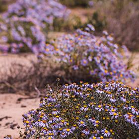 Kvetoucí poušť (Felicia cf. filifolia)