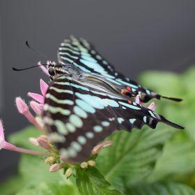 Přistání motýla