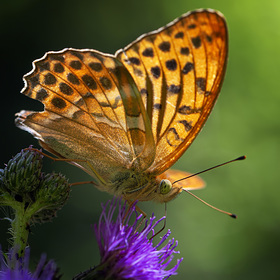 Perleťovec stříbropásek - Argynnis paphia